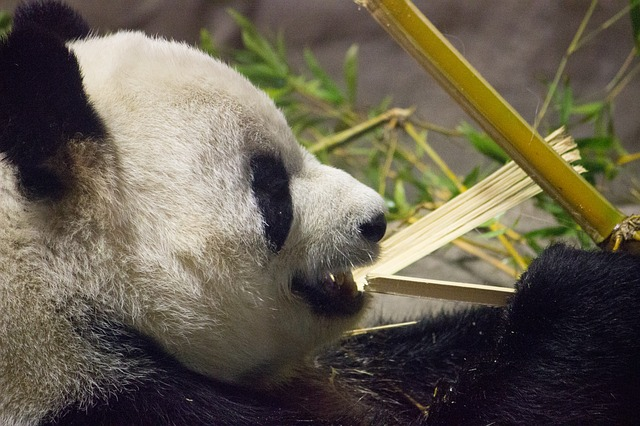 Idzie Panda