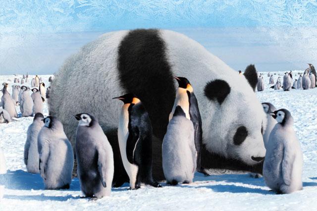 Wspólnymi siłami pingwiny i pandy potrafią wprowadzić dużo zamieszania